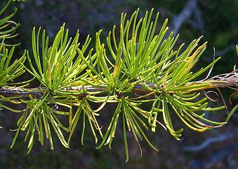 Bright green needles