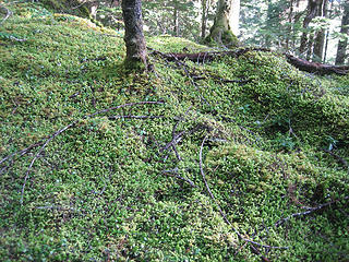 the mossy forest carpet
