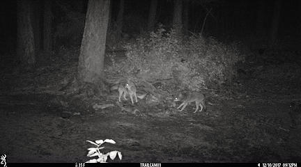 pair of coyotes