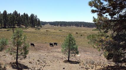Meadow & cows
