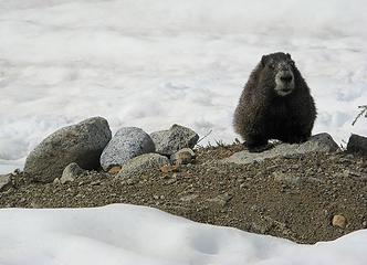 Marmot in Boston Basin