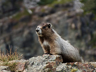 Poser Marmot