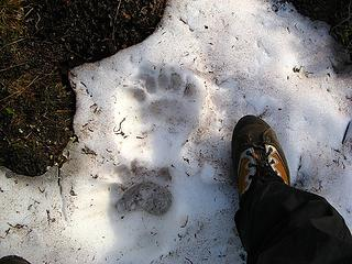 Bear track on the trail