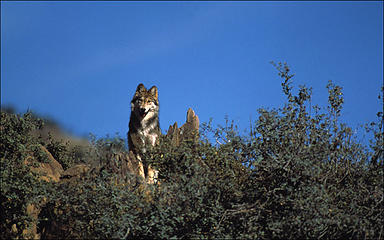 Sub-species Mexican Wolf in Arizona.