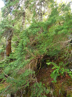 "The final ""step"" requires crawling up and over some hemlock and alder on a knife ridge"