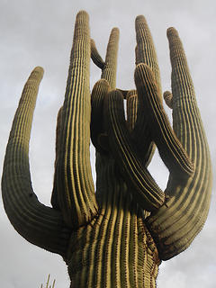 saguaros grow big in the Superstitions