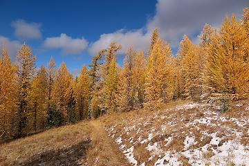 Larches and grass both golden along the trail.
