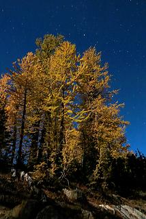 Bright moonlit larches