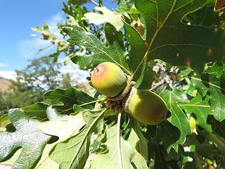 Teton Rvr Oak