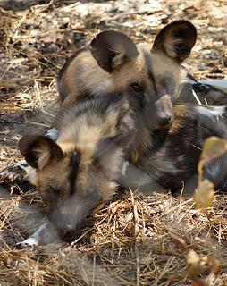 Painted hunting dogs at rehabilitation center, Hwange, Zimbabwe