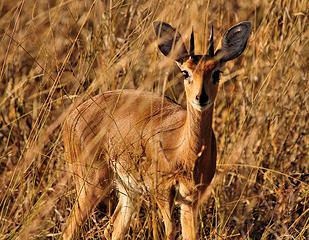 Steenbok, Hwange National Park, Zimbabwe Smallest of the antelope in Hwange
