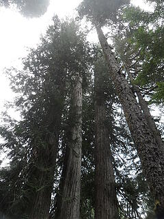 big cedars (cont'd from base)