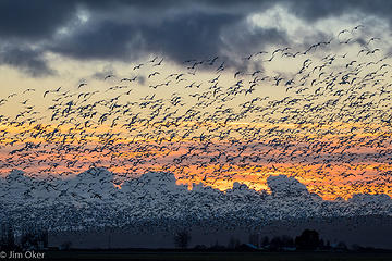 Snow Geese Sunset (1 of 1)
