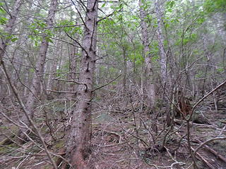 Reached the end of one spur and headed straight up the hillside through stringy rhodie brush