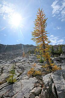 Sunlit larch along the way