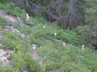 Beargrass on Crystal Peak trail.