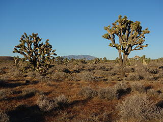 Afternoon in the land of Joshua Trees