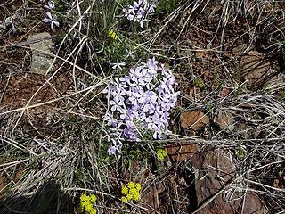 Phlox growing in dry rocky spots.