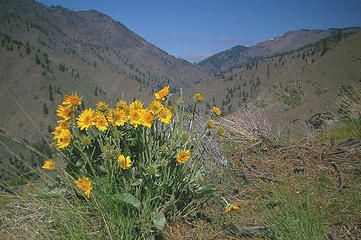 Swakane Cyn balsamroot and view
