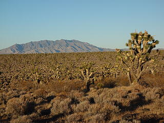 Most expansive Joshua Tree forest on Earth