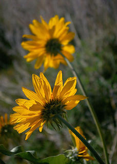 Swakane Cyn balsamroot backs