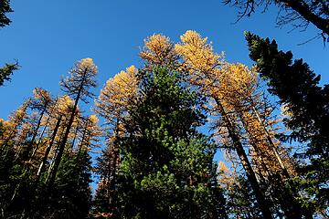 Tall larches mixed with pines and firs