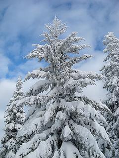 Spreading snowy tree