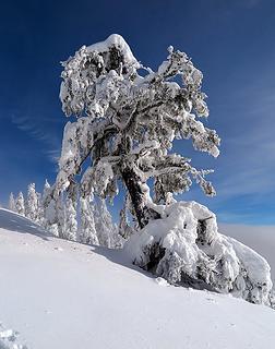 Favorite Snowy Tree below Domerie Divide on 1/1/18