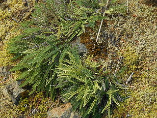 Micro-fern like plants