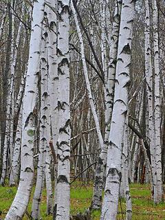 11- White birch