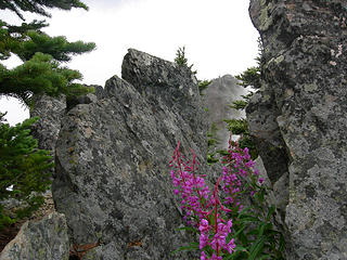 Summit wildflower-I have this in my yard.