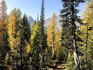 larches come into view