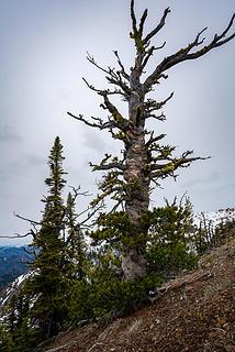 Teanaway Tree