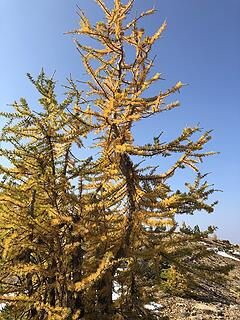 Crooked Larch