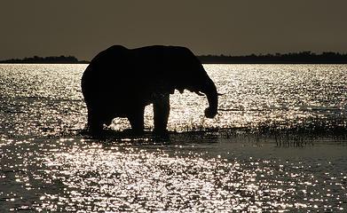 Elephant, Spurwing Island, Zimbabwe