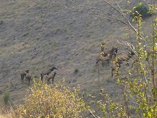Herd of Elk. Lots of bugling going on.