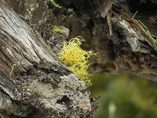 Bright neon green/yellow lichen