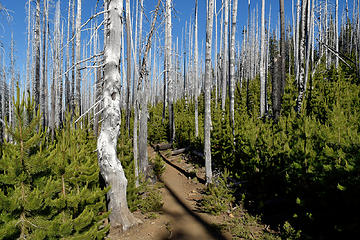 Silver forest. Mt Jefferson Wilderness, OR
