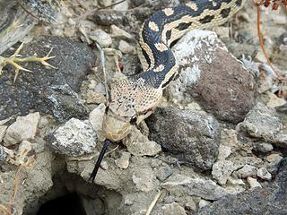 Pituophis catenifer deserticola