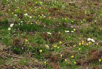 Glacier lilies and anemone along the ridge