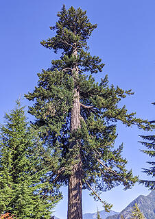 Big douglas fir at the talus field. Most were not this size, despite it being well above the upper limit of logging