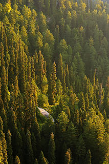 Abies pindrow (west Himalayan fir) and pine forest
