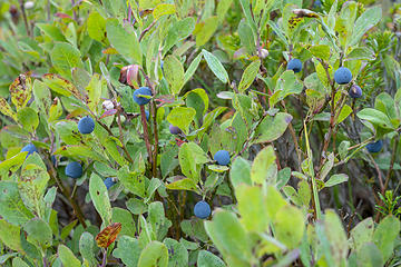 Berries were abundant