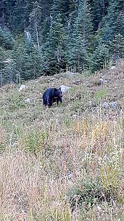 the fatty bear