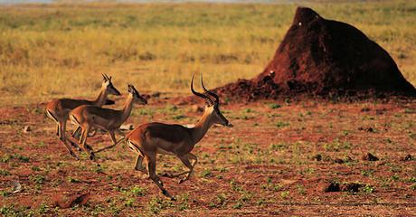 Impala, Matusadona National Park, Zimbabwe