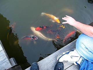 Koi swarming when kids wave their hands