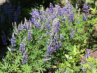 Lupine on Crystal Lakes trail.