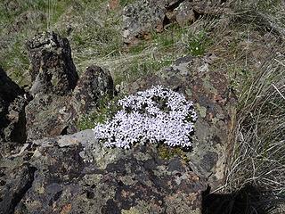 Phlox on a rock.