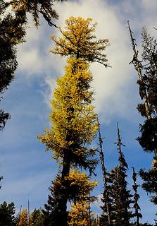 Another tall larch