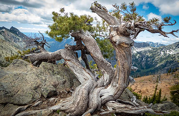 Whitebark Pine survivor
